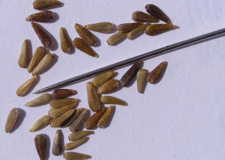 семена однолетней астры