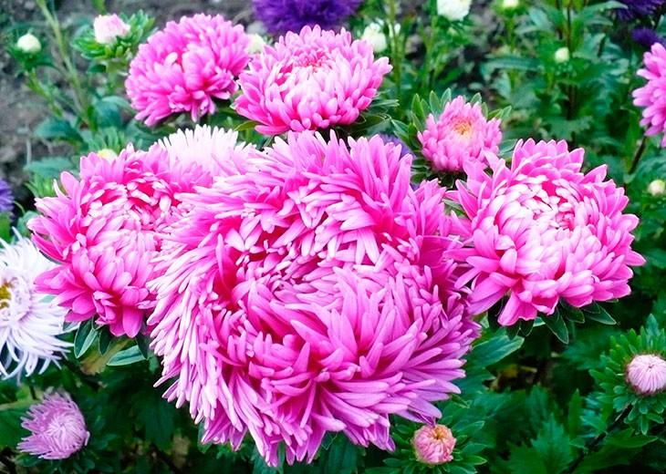 розовые махровые цветы
