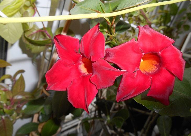 красные цветки дипладении