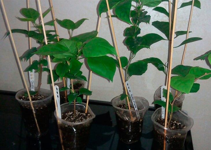 ростки Бугенвиллии в стаканчиках