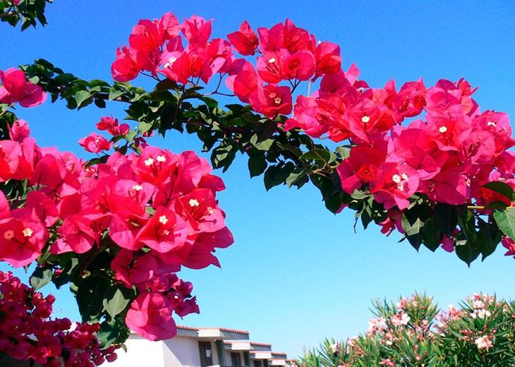 бугенвиллия розового цвета