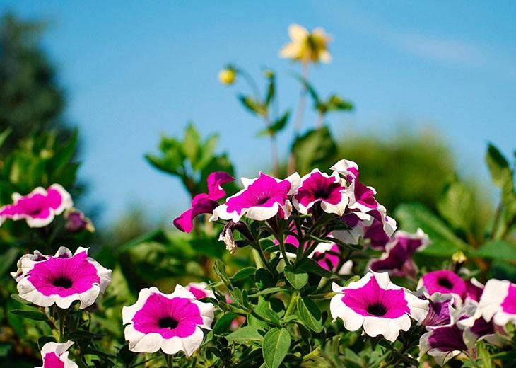 фиолетовые цветы с белой каймой