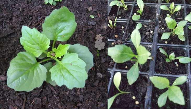 Астры выращивание из семян когда сажать на рассаду 88