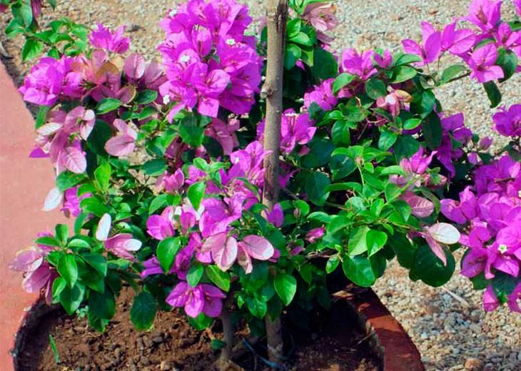 bougainvillaea фиолетовая в клумбе