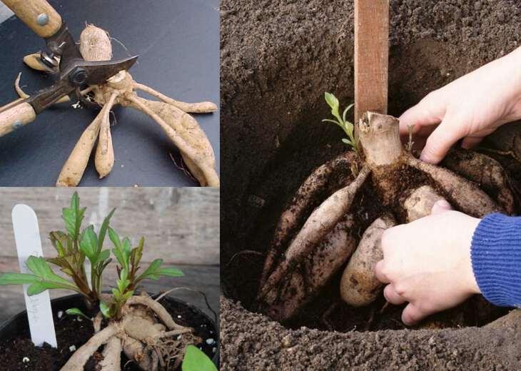 процесс посадки клубней георгин в грунт