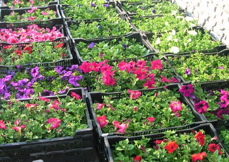 ящики с цветочной рассадой