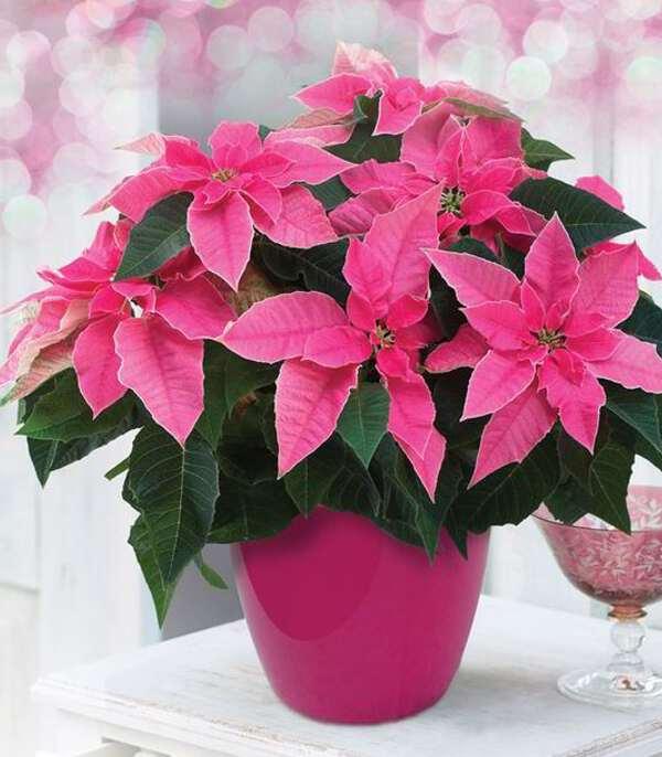 розовый кустик poinsettia
