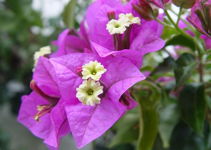 фиолетовые прицветники и тычинки