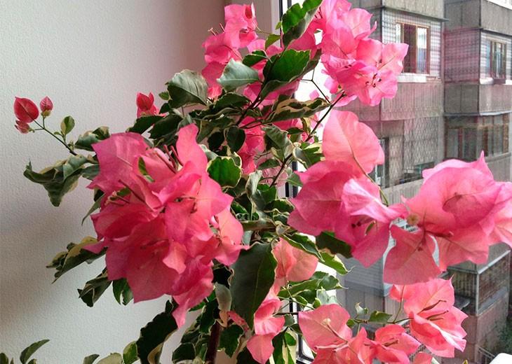 bougainvillaea розовая у окна