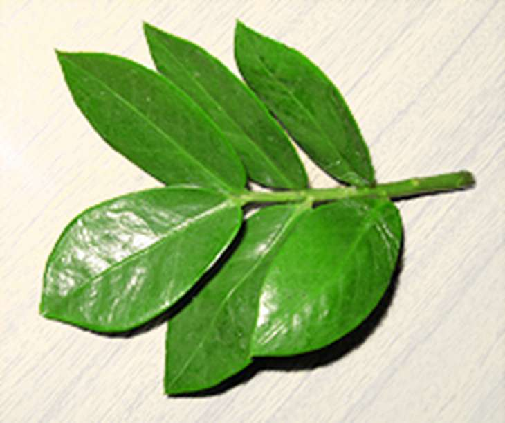 листовой черенок замиокулькаса