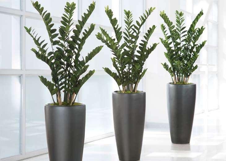 комнатное растение замиокулькас