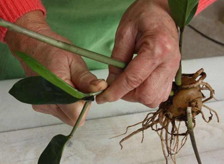 размножение замиокулькаса способом черенкования