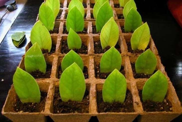 молодые растения замиокулькаса
