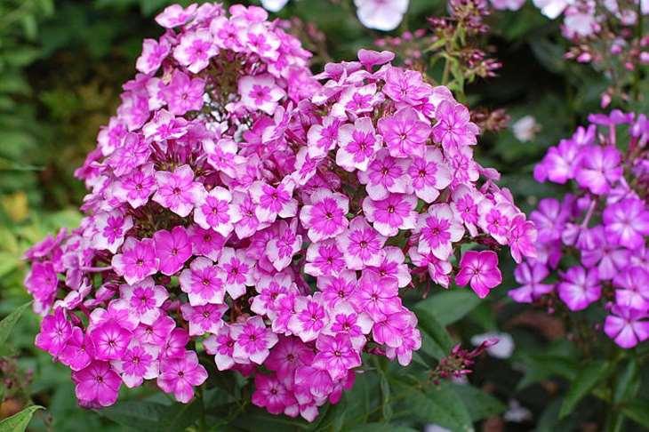 Пышное цветение флокс