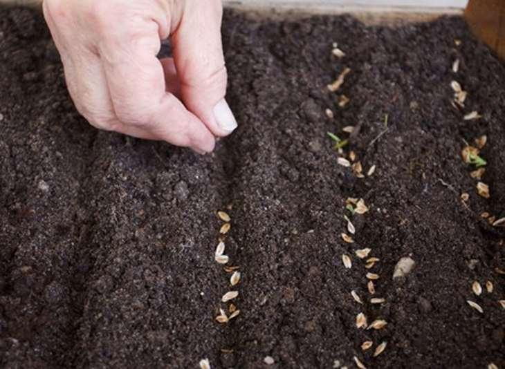 Выращивание многолетних флоксов из семян