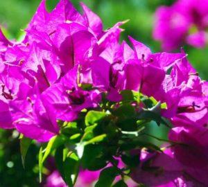 почему не цветёт бугенвиллия