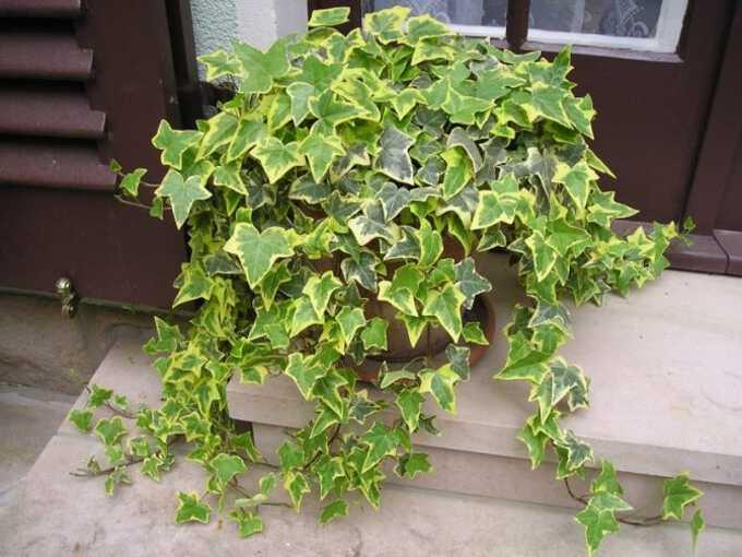 хедера комнатное растение уход
